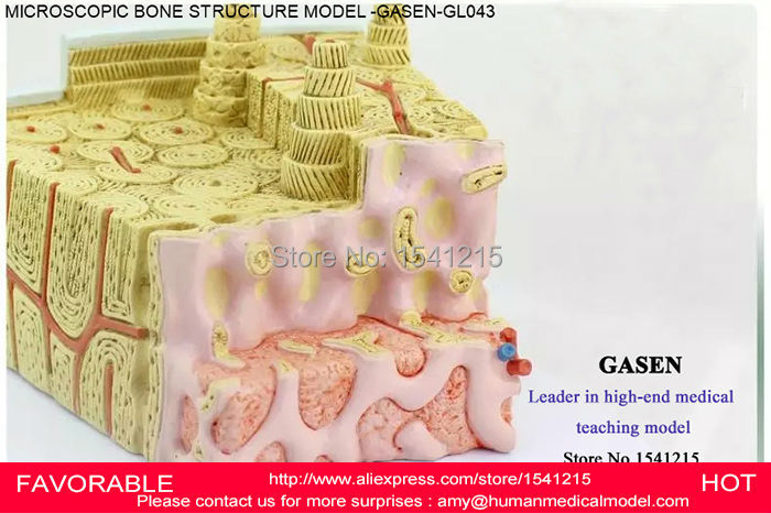 MICRODISSECTION BONE MARROW STRUCTURAL  MEDICAL TEACHING ORTHOPEDICS HUMAN BONE STRUCTURE HUMAN DISSECTION MODEL GASEN-GL043 child bone marrow puncture and femoral venous puncture model