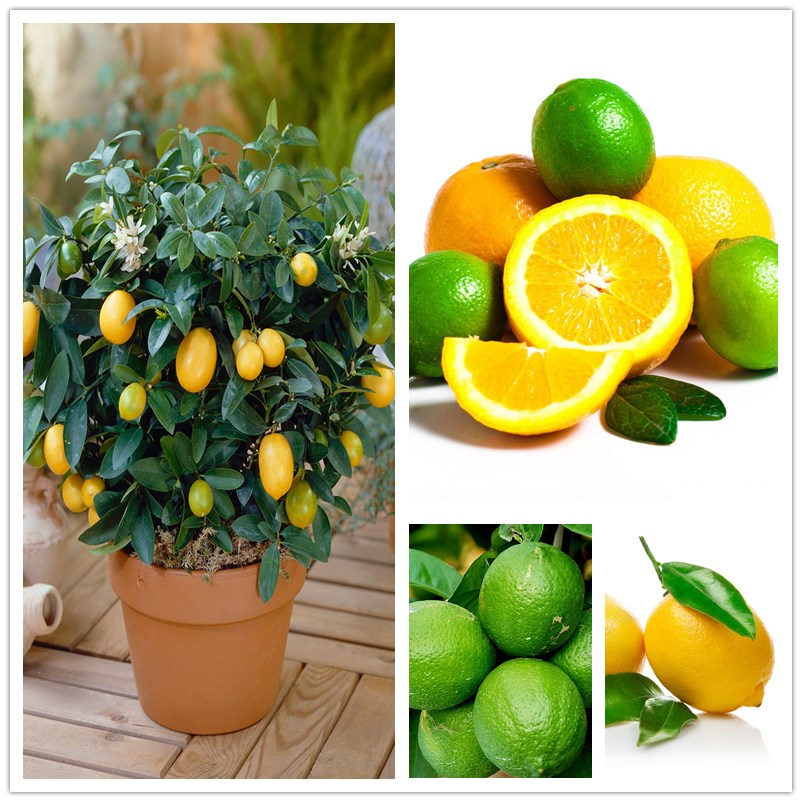 Marvelous Online Buy Wholesale Lemon Tree From China Lemon Tree Wholesalers  With Lovable  Pcsbag Dwarf Lemon Tree Seedsnatural Perfume Indoor Diy For Home Garden With Archaic Vet Welwyn Garden City Also Urban Farm And Garden In Addition Ky Garden And Best Expanding Garden Hose As Well As Edible Garden Show Additionally Secret Garden Oarty From Aliexpresscom With   Lovable Online Buy Wholesale Lemon Tree From China Lemon Tree Wholesalers  With Archaic  Pcsbag Dwarf Lemon Tree Seedsnatural Perfume Indoor Diy For Home Garden And Marvelous Vet Welwyn Garden City Also Urban Farm And Garden In Addition Ky Garden From Aliexpresscom