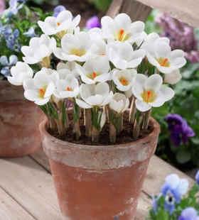 2 pcs Fiore di Zafferano lampadine, Zafferano Crocus lampadine, È la Bulbi di Zafferano