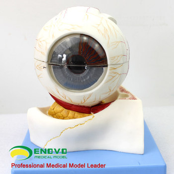 Medical anatomy of human eye structure model of magnification