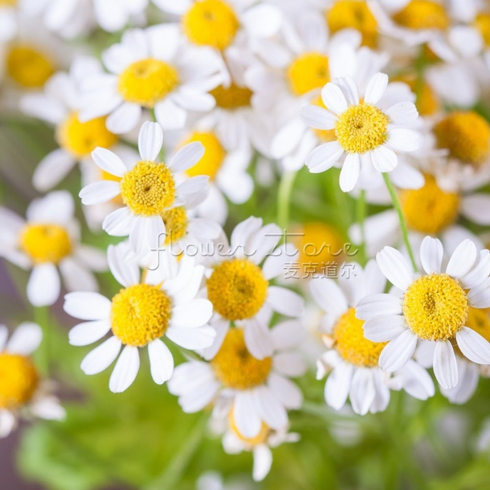 100 Beautiful Pyrethrum Daisy Seeds Easily To Start Fragrant