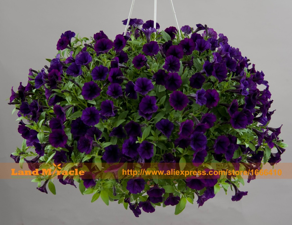 Climbing Flower Seeds Dark Blue Petunia Flower 100 Seeds Pack Potted Garden Petunia Ornamental Plant Easy