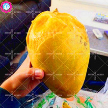 11.11 Big Promotion!2 pcs/lot giant Mango seeds juice fruit seed potted in garden&home aweet perennial organic herb plant