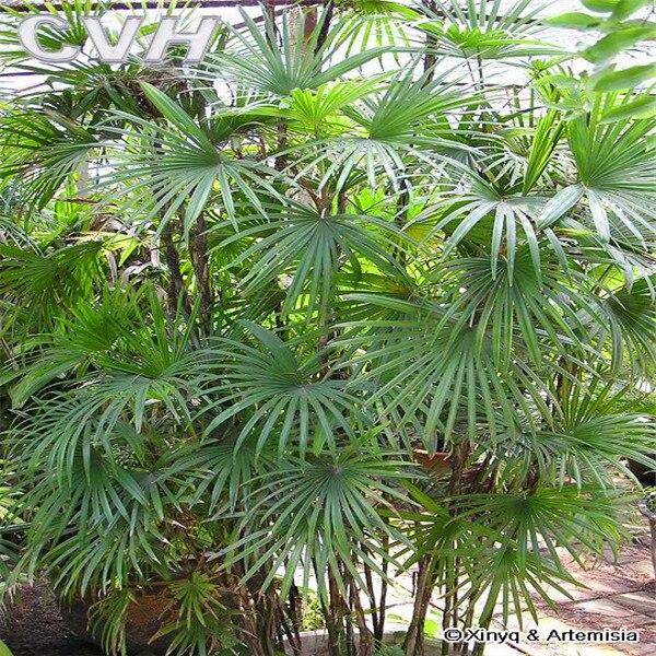 Piante di bamb di palma promozione fai spesa di articoli for Semi di bambu