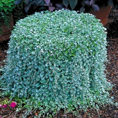 500pcs Dichondra Repens Lawn Bonsai Money Grass Hanging Decorative Garden Plants Do Flower Bonsai For Home Garden