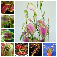 Free Shipping Dionaea Muscipula Giant Clip Venus Fly Trap Seeds 100pcs Insectivorous Seed Garden Plant Seed Bonsai Family Potted