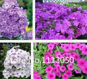 Sale! Free Shipping 500pcs 10 kinds Bonsai phlox Seeds 100% Genuine Organic Blooming Flower Seeds Garden Plant