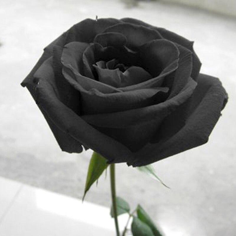 Картинка чёрная роза