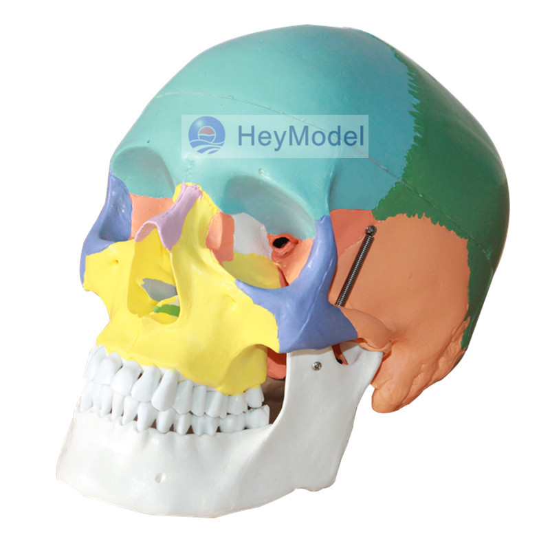 HeyModel Colorful Artificial Skull Model Life Size 1:1