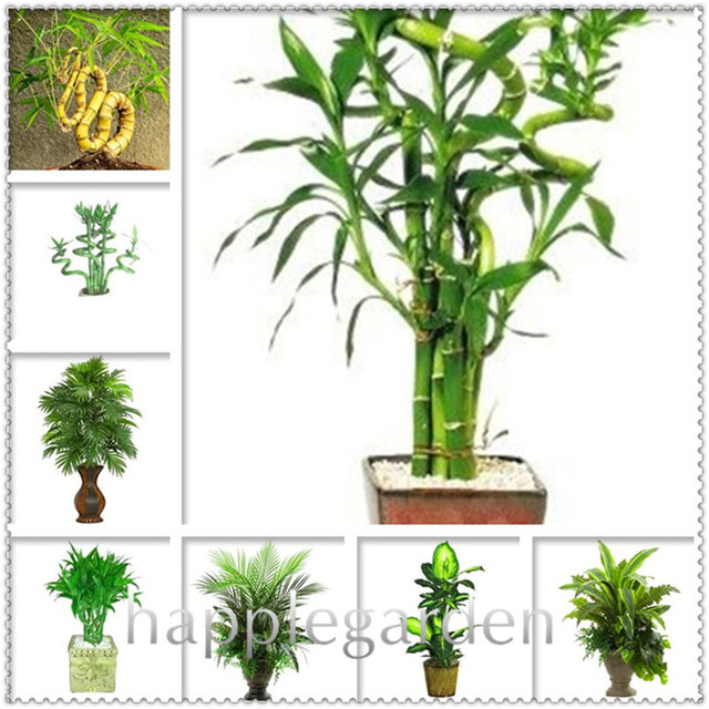 Time Limit Lucky Bamboo Bonsai Small Potted Plants Purify Dracaena