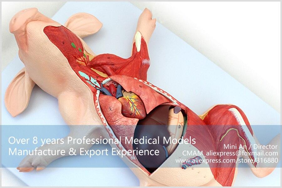 12002 CMAM A02 Medical Anatomy Suckling Pig Organs Anatomical Models ...