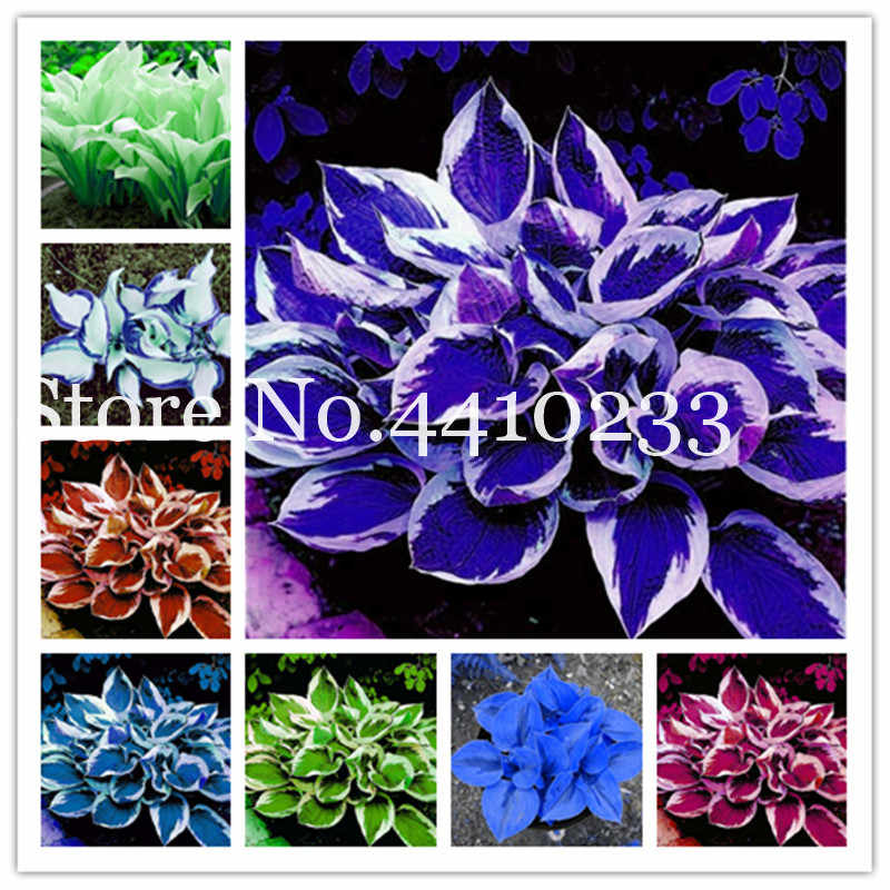100 Pcs/Bag Bonsai Hosta Plants, Perennials Jardin Lily Flower Shade Hosta Flower Flores Herb Plants For Home Pot And Garden