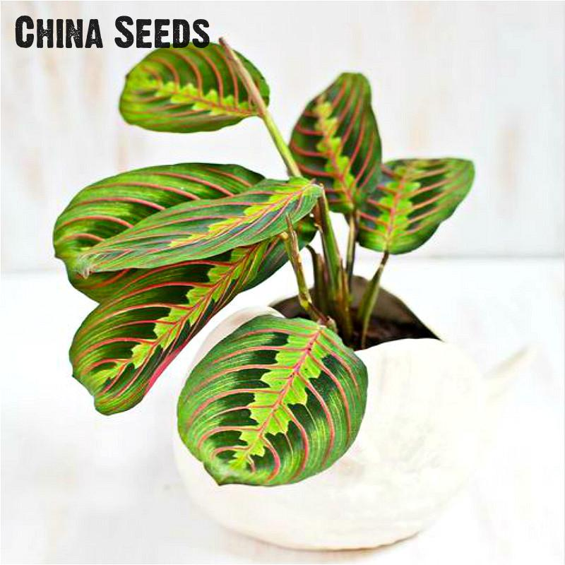 100 Pcs Rare Japan Centipede Pattern Grass Seeds Perennial Mini Bonsai Seeds Indoor Evergreen Ornamental Plant Easy To Grow