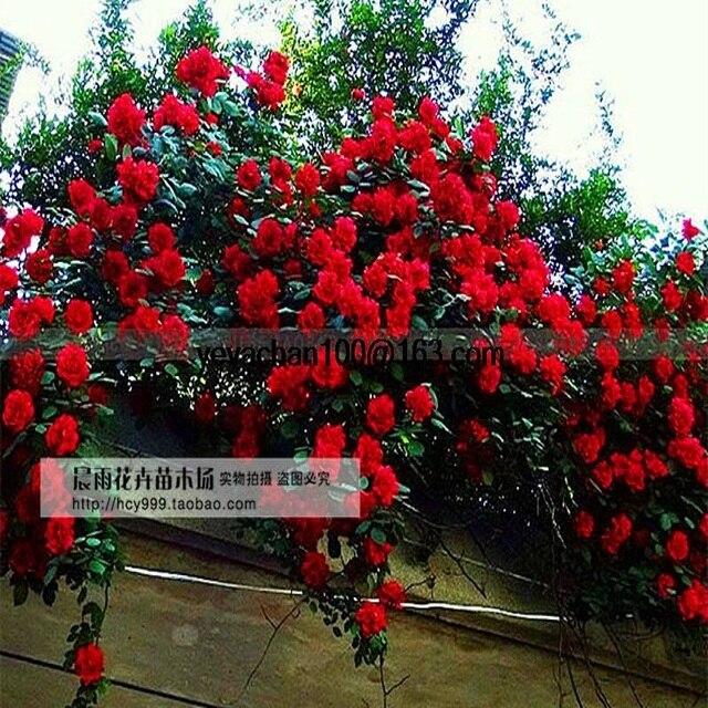 انفجار تسلق روز حديقة تسلق تسلق 200 زهرة bonsais