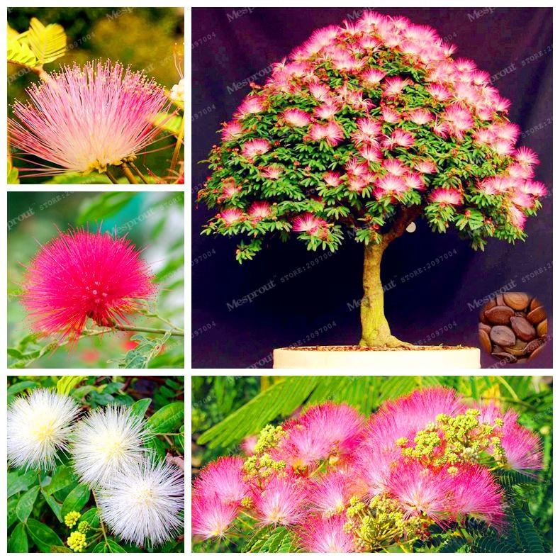 Acquista all 39 ingrosso online mimosa albero fiore da for Mimosa in vaso