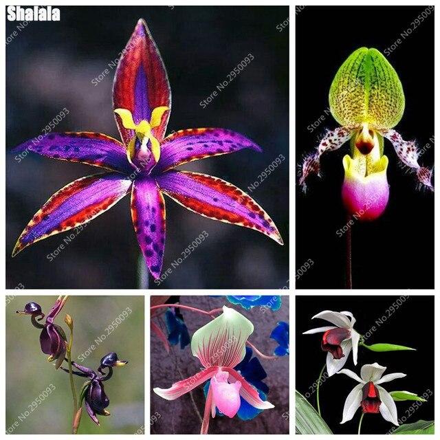 orchidee blanche rare