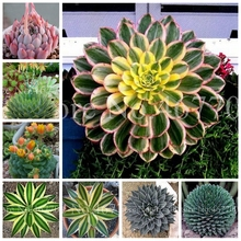 100 Pcs/ Bag Bonsai Aloe Cacti Agave Rare Succulent Plants Indoor Planta Agave-Americana Potted Plants For Home Garden Planting grazia new classic hellas 7x26 agave