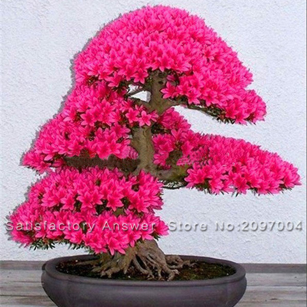 prdida de la promocin unids japons sakura semillas bonsai semillas de rboles de jardn