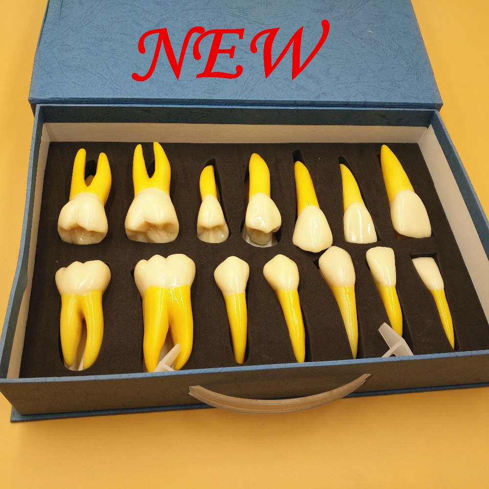 2018 good quality 4 Times Permanent Anatomical / (Right 14) whole teeth model 2018 good quality 4 times permanent