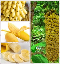 1Bag=100pcs Mini banana seeds Fruit  Seeds Rare Exotic Bonsai banana Potted Gift Plant Decoration Home & Garden Free Shipping