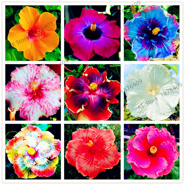 100pcs/bag Dinnerplate Hibiscus seeds Perennial Flower seeds home\u0026 garden plant use10-12 Inch  sc 1 st  AliExpress.com & 100pcs/bag Dinnerplate Hibiscus seeds Perennial Flower seeds home\u0026 ...