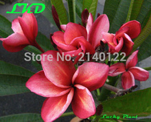 7-15inch Rooted Frangipani Plant Thailand Rare Real Plumeria Plants no116-herican-1