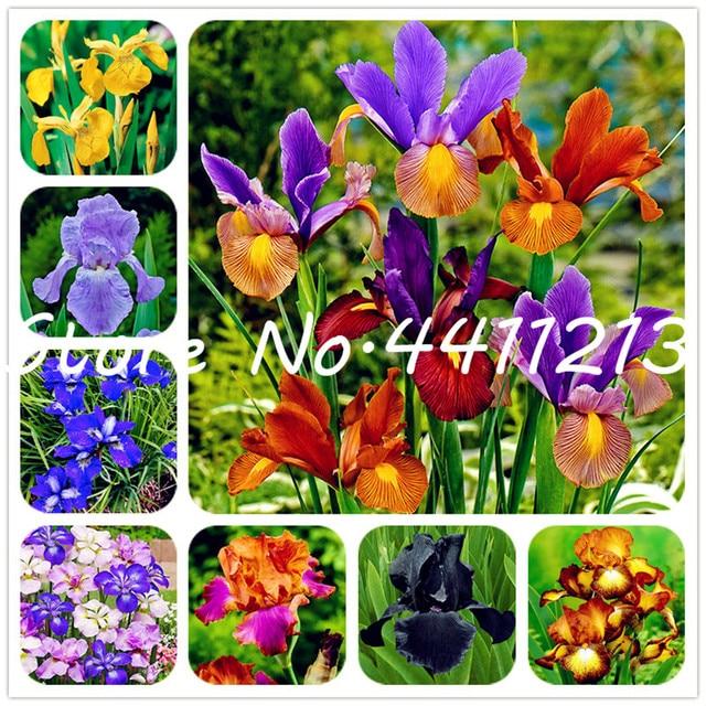 Rare Heirloom Iris Bonsai Perenne Fiore flores, colori misti, Iris fiore, bonsai