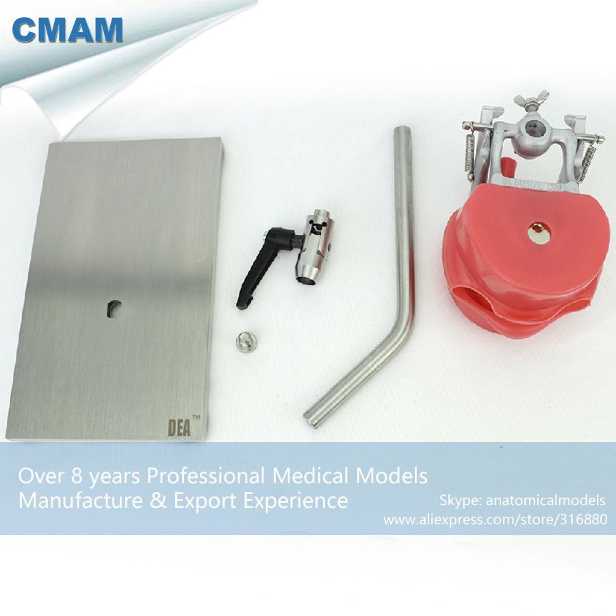 CMAM-DENTAL01-1 Removable Teeth Phantom Head for Tooth Prepare with Stainless Steel Base cmam dental30 quality resin human permanent teeth carving models with base for engraving teaching