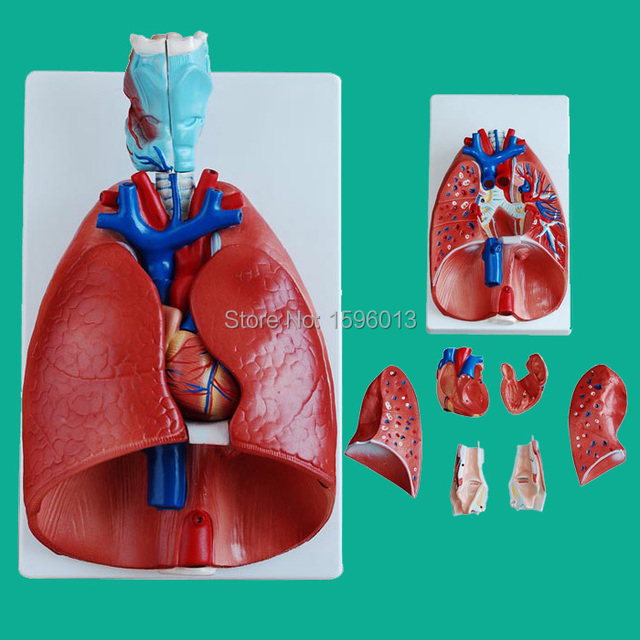 Lung model with Larynx and heart 7 parts, Advanced Lung and heart ...
