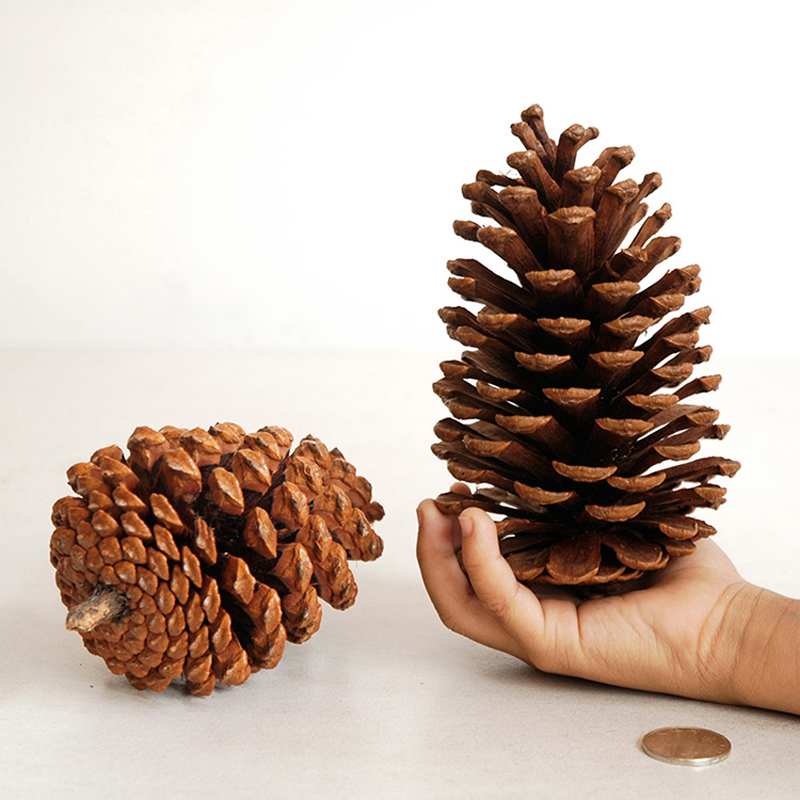 Natural big pinecone oval pine cones home party christmas for Large pine cones