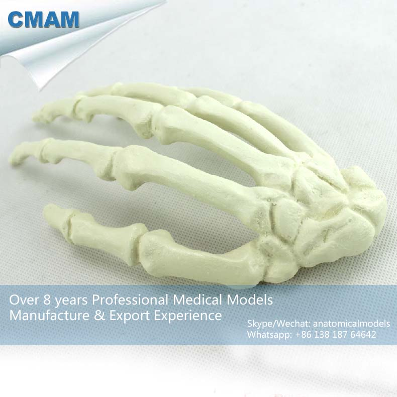 12324 CMAM-TF13 Solid Foam Normal Anatomy Large Right Hand Bones Orthopaedic Model hellboy giant right hand anung un rama right hand of doom arms hellboy animated cosplay weapon resin collectible model toy w257