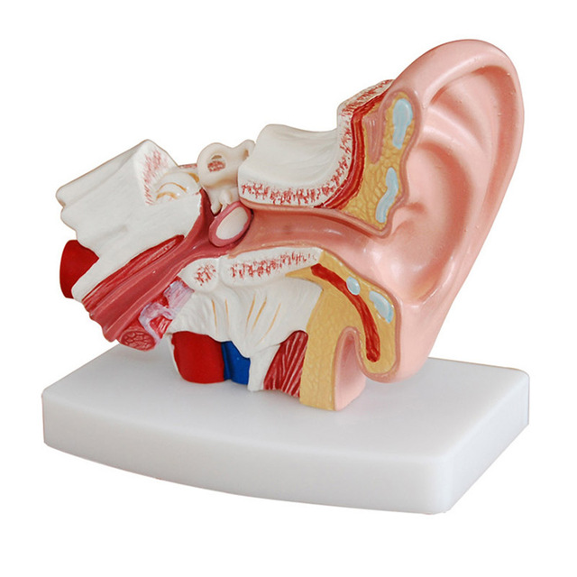 Organ Model 1.5 Times Human Ear Anatomy Model  External Ears Teaching Supplies Tools