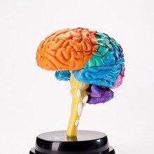 Голова сборка Модель Сборка обучение детей студенческая наука учебные пособия игрушки для детей(все органы могут двигаться) AG677