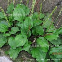 Herb plant psyllium plant before Wild Herb plant detoxification car real plantain bonsai 200g / Pack