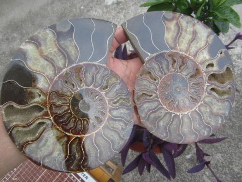 1465g 3 22 lb 1 Pair Half Cut Ammonite Shell Fossil Specimen Madagascar