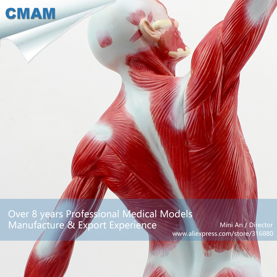 12028 Cmam Muscle05 Desktop 55cm Human Muscle Model On Stand