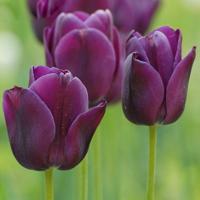 Tienda Online Bonsáis borde blanco púrpura tulipán flor semillas ...