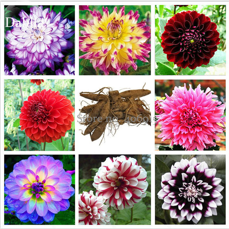 Mixed 8 Types Of Dahlia Perennial Flowers, 50 Seeds, Strong Fragrant Garden  Flowers E3675