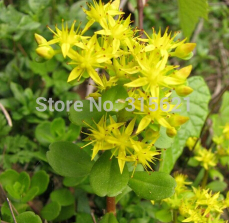 20pcs The import of American fleshy seeds Stonecrop genus Sedum Acre Golden Carpet