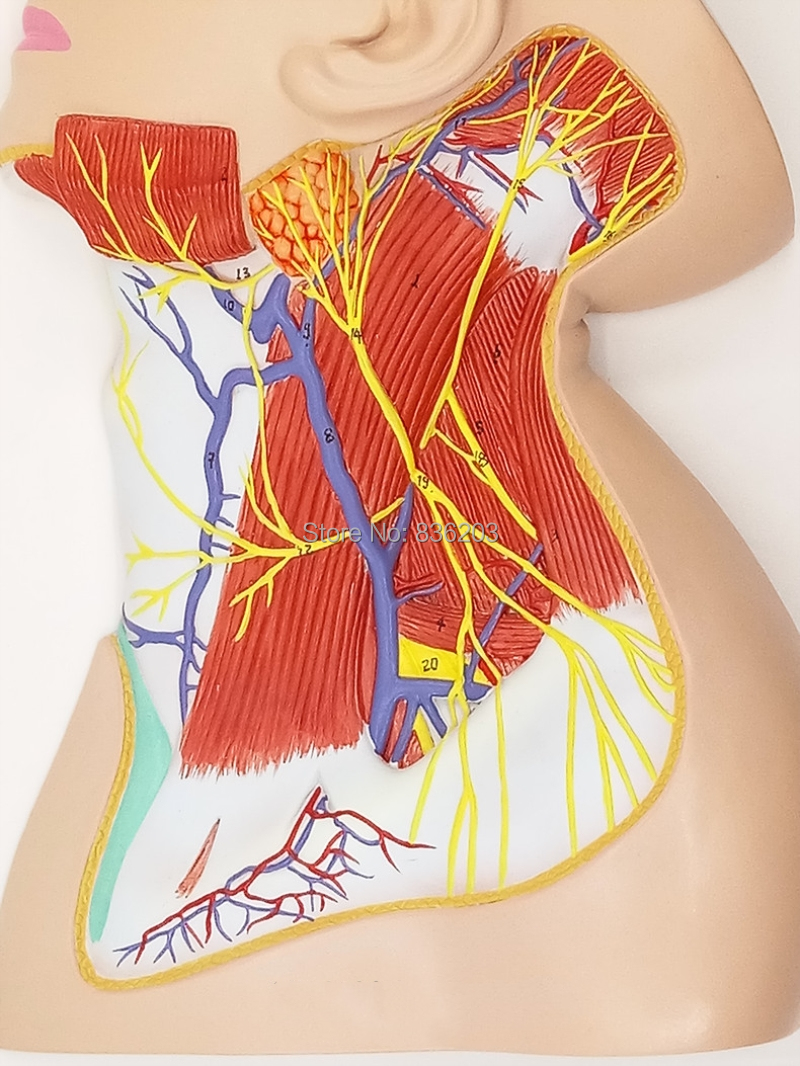Tamaño Natural humano Masajeadores de cuello cabeza hombros nervios ...