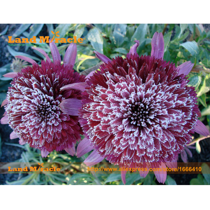 Rare 39 snow purple 39 echinacea flower plant coneflower seeds for Easy to care for flowers outdoor