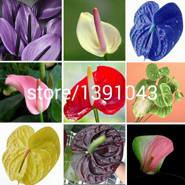 achetez en gros anthurium semences en ligne des grossistes anthurium semences chinois. Black Bedroom Furniture Sets. Home Design Ideas