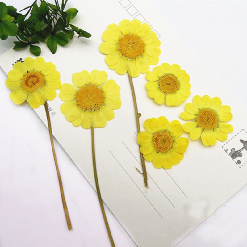 2018 Small Gerbera on Stems Pressed Flower Gifts For Kids Plants Specimens Teaching 100 Pcs Free Shipment