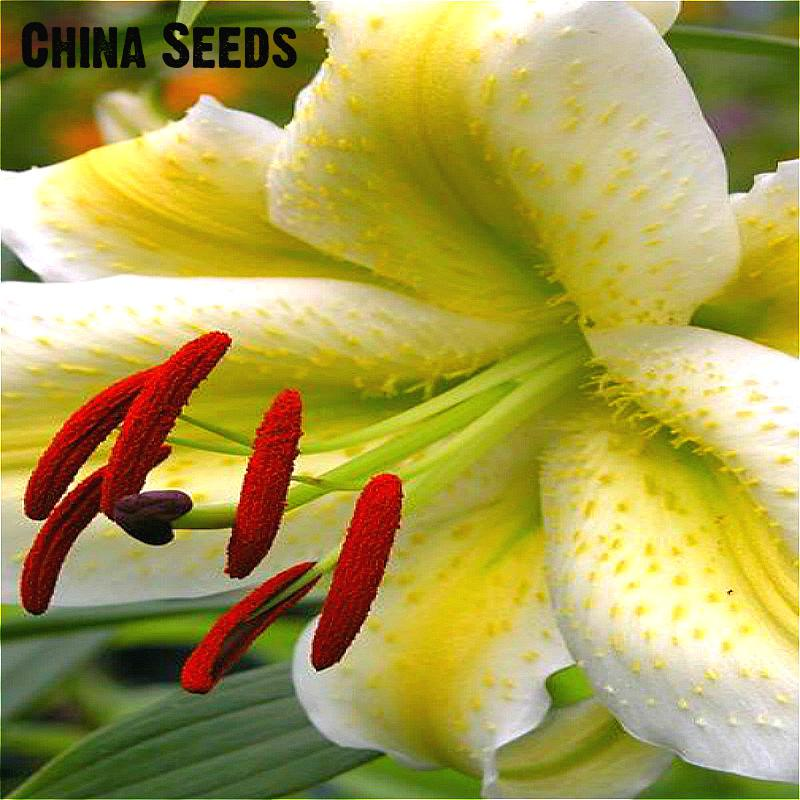 100pcs/bag Perennial Lily Seeds Rare Flower Seed For DIY Home Garden Planting Aerobic Potted Plants Flor Christmas Decoration