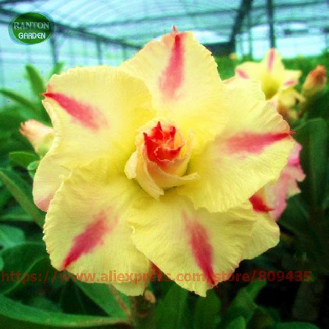Mixed Adenium Obesum quality Pretty Desert Rose  Bonsai flower Seeds