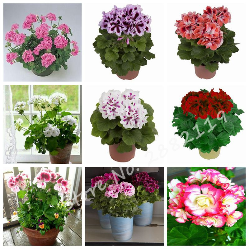 Charming Indoor Rooms Flower Seeds Geranium Seeds Perennial Flower Pelargonium  Peltatum Seeds Garden Gift 50 Pcs