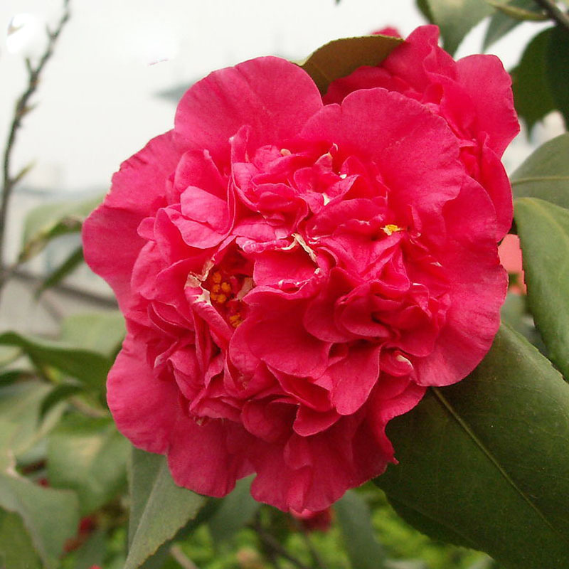 Common Garden Plants aliexpress : buy bright red camellia seeds potted plants