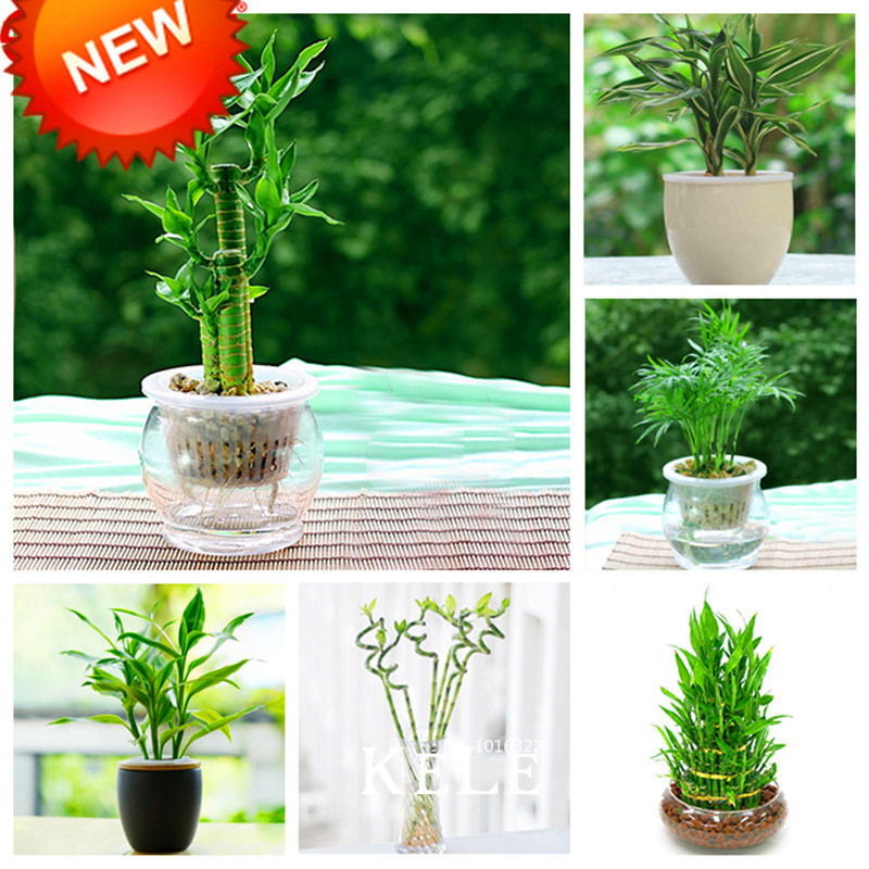 New 2018!6 Kinds Lucky Bamboo Choose Potted Bonsai Variety Complete Dracaena Garden The Budding Rate 95%, 100 PCS/Pack,#WS30