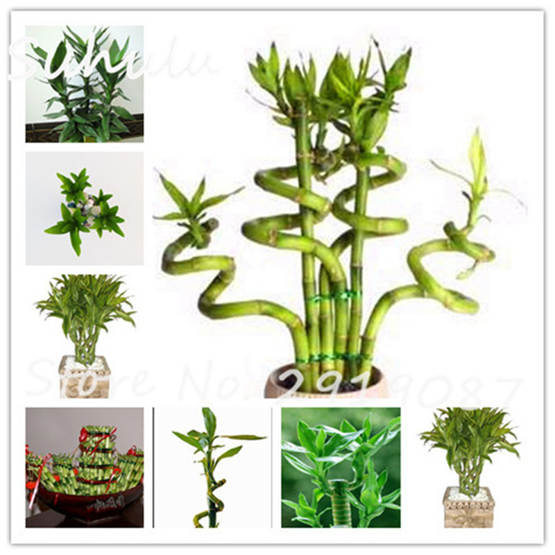 Rare Lucky Bamboo Palm Seeds 30 Pcs Lady Palm Indoor ...