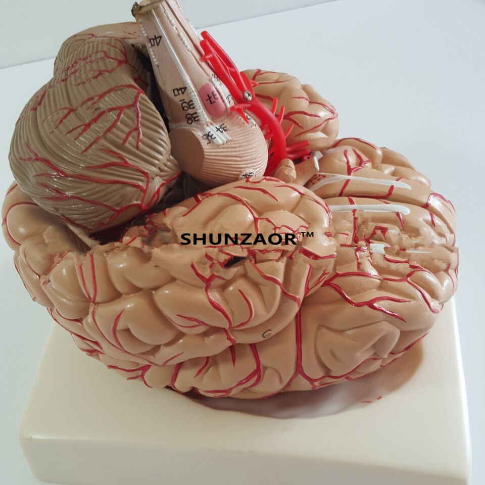 PVC big brain anatomy model brain model arteries Medical Anatomical Brain Model, with Arteries, 9 Parts,with nummber цена